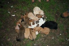 Please help us help these babies. These puppies were all rescued by Northbound Pound Puppies. We do still need fosters for 4 of them if you're local to Mobile. This many puppies isn't cheap and both moms are also heart worm positive. Please consider donating towards their care:   Medical Expenss for Northbound Pound Puppies and Dogs | Nonprofits - YouCaring