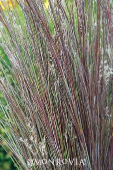 Prairie Blues Bluestem - Deciduous, clumping grass with gray-blue foliage that turns salmon orange in the fall. Flower spikes emerge above the foliage, displaying downy white seed heads that persist into fall. Good ground-cover for massing or effective specimen in borders and rock gardens.