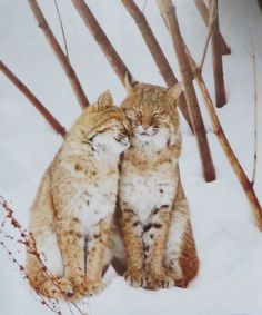 Young bobcat snuggles with mother. Photo by Melissa Groo