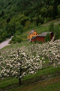 Scandinavia, Fruit orchard in Hardangerfjord, Norway