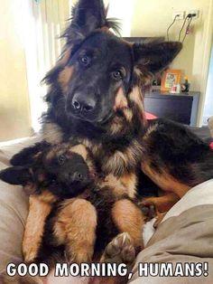 Beautiful German Shepherd family!