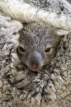 ~~G'day! | a 6-month-old Koala, is cradled between the front and back legs of her mother | by Lorinda Taylor~~