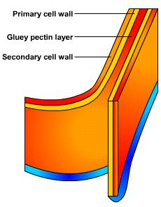 Cholesterol in the plasma membrane biochemistry notes pinterest the cell wall protects the plant cells and maintains the shape like a jello mold because the keep the shape ccuart Choice Image