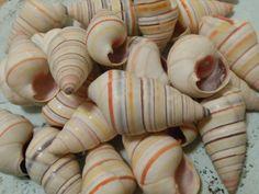 Seashells 10 Haitian Tree Snail  Seashell by ShellsUnlimited, $4.50