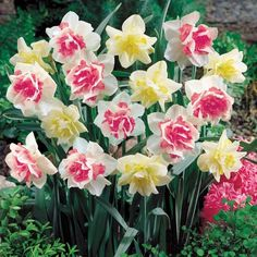 "Double Daffodil Duo, 'Replete' and 'White Lion,' bloom early to mid spring, 14""-16"" tall"
