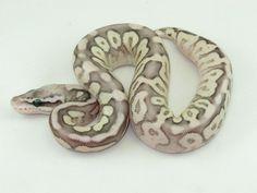 Cinnamon Mojave Pastel Spider - Morph List - World of Ball Pythons Reptile Terrarium, Terrarium Ideas, Ball Python Morphs, Beautiful Snakes, Reptiles And Amphibians, Spider, Balls, Cinnamon, Creatures