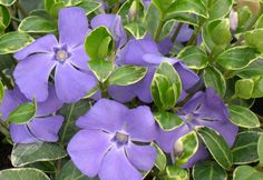 Buy lesser periwinkle Vinca minor 'Ralph Shugert' - A pretty combination of flowers and foliage: Delivery by Waitrose Garden Purple Plants, Shade Plants, Ground Cover Shade, Colorful Flowers, Beautiful Flowers, Periwinkle Flowers, September Flowers, Planting Plan, Midnight Garden