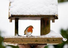 Robin at a snowy bird feeder in winter. A red robin at a snow-covered bird house , Robin Vogel, Red Robin Bird, Bird Tables, European Robin, Merle, Robin Redbreast, British Garden, Survival Supplies, Winter Colors