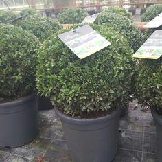 Buxus Topiary Balls 40cm