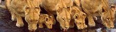 We roepen mensen op om een filmpje te maken waarbij ze brullen voor de leeuw of om een filmpje te maken waarbij ze aangeven waarom de leeuw niet mag uitsterven. Dit filmpje kan vervolgens geplaatst worden op onze facebook-pagina. De leukste filmpjes plaatsen wij op ons YouTube-kanaal en er vallen bovendien leuke prijzen te winnen.