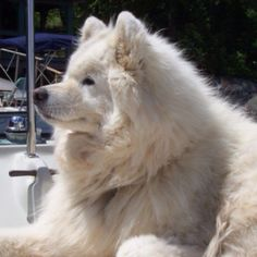 My previous dog, a Samoyed. I grew up with 4 of these guys and they were so amazing! He was such a good boy and will always be missed! I'd have another one but boy do they need lots and lots of grooming... So it looks like I'll be sticking with huskies from here on out!! <3