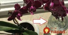 Česnek je pro orchideu hotovým zázrakem: Pokud vám dlouho nekvetla, vezměte 3 stroužky a zkuste tento tip, brzy se objeví první puky! Ikebana, Container Gardening, House Plants, Salvia, Tulips, Wedding Bouquets, Diy And Crafts, Vase, Funguje To