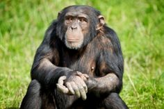Bartering for Bananas: Chimp Saves Ducklings, Demands Fruity Reward  When some ducklings got too close to a chimp exhibit, Bossou took action.