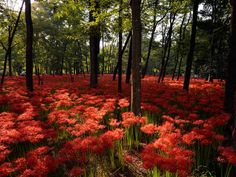 Red spider lilies in full bloom grow at the Kinchakuda park in Hidaka, Saitama prefecture, near Tokyo, Japan. Red spider lilies, or Higanbana, mark the end of summer and the entry in autumn with its cooler days. Some five million red spider lilies are covering the area.
