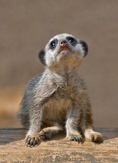 ~~Kute Kat by Krys Bailey ~ meerkat~~