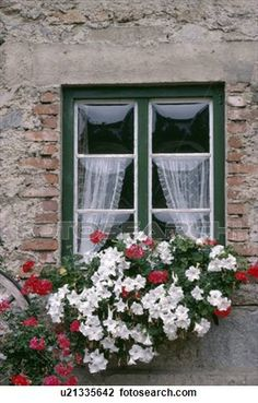 petunias and red geraniums in window-box below window with lace curtains in country cottage Stock Image english cottage windoe boxes