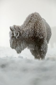 American Bison (Wyoming) by Raymond Leinster