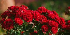 Φροντίδα Τριανταφυλλιάς Home And Garden, Rose, Plants, Diy, Decor, Gardening, Pink, Decoration, Bricolage
