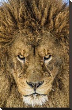Beautiful Cats, Animals Beautiful, Animals And Pets, Cute Animals, Gato Grande, Lion Love, Lion Of Judah, Lion Art, Tier Fotos