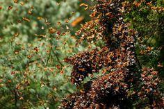 Đàn bướm vượt 4.000 km về Mexico nghỉ đông