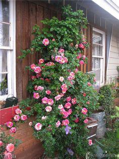 Hoa hồng leo vân Hà 67  Giống hoa hồng siêu leo màu kẻ sọc hồng vàng  trắng, hoa nở quanh năm, xoè rộng với chùm lớn Cây có thể leo cao tới 6-8m nếu được trồng chăm sóc tốt