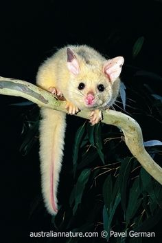 Rare Animals, Funny Animals, Strange Animals, Adorable Animals, Australian Possum, Pet Rats, Pets, Wild Animals Photography, Wild Book