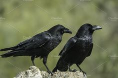 Corvus corax Photos Corvus corax by Nat