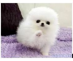 White puppies are cute Baby Animals Super Cute, Cute Baby Dogs, Cute Little Animals, Cute Funny Animals, Cute Cats, Cute White Puppies, Cute Little Puppies, Cute Dogs And Puppies, Tiny Puppies