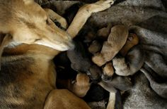 A stray dog with her puppies rests at Territorio de Zaguates or 'Land of the Strays' dog sanctuary in Carrizal de Alajuela, Costa Rica, April 20, 2016. In a lush, sprawling corner of Costa Rica, hundreds of dogs roam freely on a hillside - among the luckiest strays on earth. Fed, groomed and cared for by vets, more than 750 dogs rescued from the streets of Costa Rica inhabit Territorio de Zaguates or 'Land of the Strays', a pooch paradise. The 152-hectare sanctuary in the...