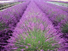 Lavender Field, Sequim, Washington, USA Impressão fotográfica por Janell Davidson na AllPosters.com.br