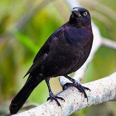 Common Grackle: common or not, these intelligent, gregarious birds have beautiful iridescent plumage. Only the breeding adults have yellow eyes, making it easy to spot the juveniles when a flock moves noisily through the area.