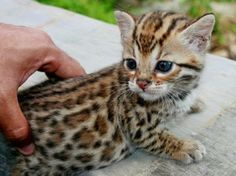 Bengal kittens always make me purrrrrrrr……