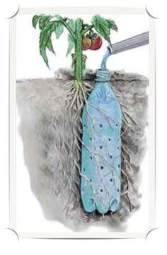 DIY Pop Bottle Irrigation for Tomato Plants