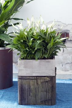 June 2015: the Peace Lily is Houseplant of the month   Agora Group