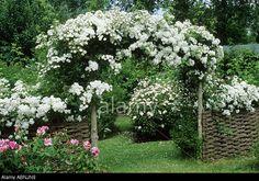 Rosa 'rambling Rector', Arch, Wattle Fencing, Fence, Mannington ...