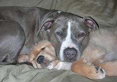 hugging pitbull | Proof that pit bulls are actually the best snugglers on the planet ...