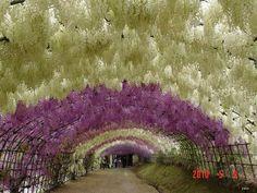 A Colorful Walk: Wisteria Tunnel at Kawachi Fuji Gardens, Japan.