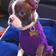 Adorable Rosie... Baby Boston Terriers, Boston Terrier Love, Boston Terrior, Terrier Mix Breeds, Terrier Puppies, I Love Dogs, Puppy Love, Cute Dogs, Puppies And Kitties