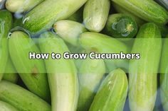 How to grow cucumbers is the subject of this page. It is 9-21-09, a day before Fall begins. For the Fall I have decided to try growing some cucumbers in the event we have good weather for a few months. I planted one hill of these in my new raised garden bed which will have a cover over it when it starts... - #cucumbers #seeds #growing #hole #plants #soil #cauliflower #cabbage