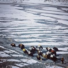 A herd of Yaks carrying supplies up to Everest Base Camp.  #everest #Tibet #china #yak #snow #life #hike #vscocam #vsco #travel #travelgram #ontheroad #livelovechina #anywhereanyhow