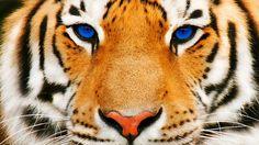 tiger face hd wallpapers | Desktop Backgrounds for Free HD Wallpaper | wall--art.com
