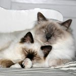 Such pretty Ragdolls