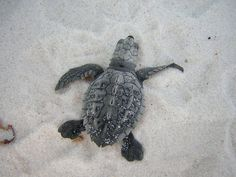 As the Florida sea turtle nesting season comes to a close, we are excited to inform you that nest counts have risen!
