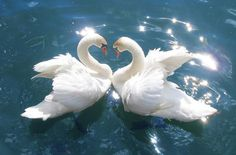 Enjoy a collection of swan photos. Enjoy a collection of swan photos. - Animals, Nature - Check out: Beautiful Pictures of Swans on Barnorama Image Beautiful, Beautiful Swan, Beautiful Birds, Animals Beautiful, Cute Animals, Romantic Animals, Pretty Animals, Animals Images, Wonderful Images