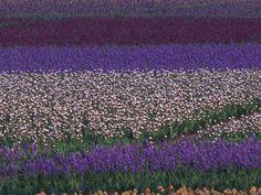 Schreiners Iris Gardens | Iris Bulbs | Iris Plants | Iris ...