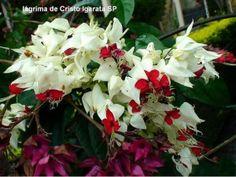 Lágrima de Cristo - Clerodendro Trepadeira resistente ao sol, com flor. Boa para pergolado. Ver aqui forma de cultivo  Clerodendro (Clerodendon x speciosum)