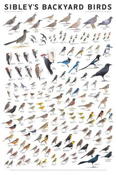 Sibley's Backyard Birds: Western North America by David Allen Sibley North America Map, Birds Of America, Love Birds, Beautiful Birds, Bird Guides, Bird Identification, Bird Poster, Bird Book, Nature