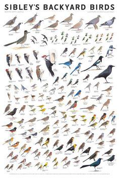 Sibley's Backyard Birds - Western North America
