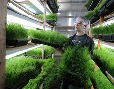 Buğday çimi, kanser gibi ölümcül hastalıkların tedavisinde ve önlenmesinde son derece etkili. Laetril mucizesi, buğday çimi ve bilinmeyen faydaları…