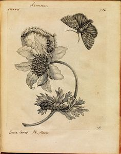 Maria Sibylla Merian, German artist and naturalist.